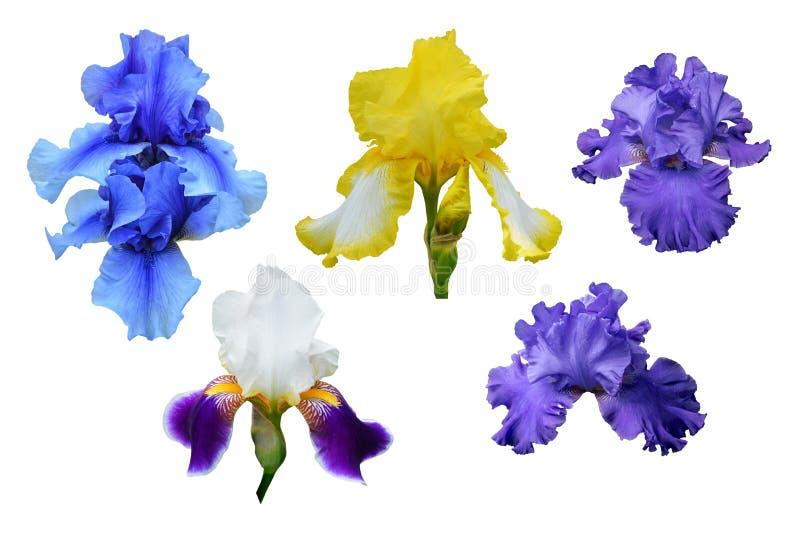 Flores azules, amarillas y violetas del iris Backgro aislado, blanco imagen de archivo