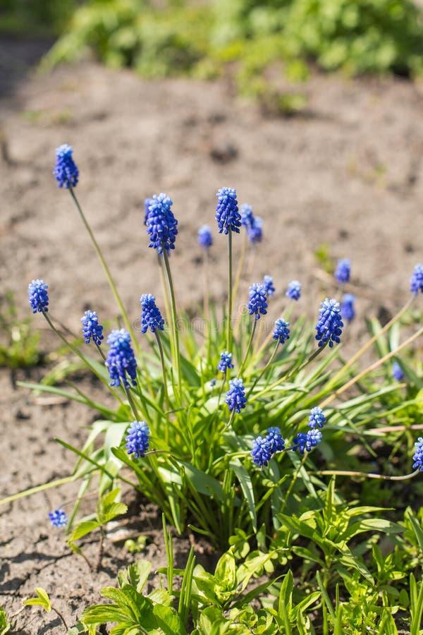 Flores azules blandas del muscari en un día de verano foto de archivo