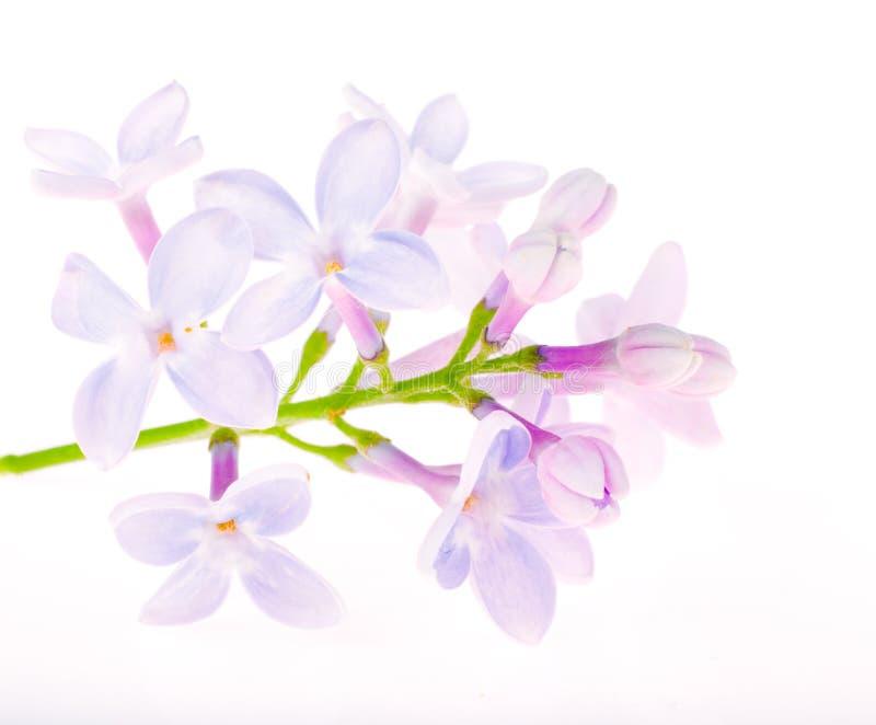 Flores azules claras de la lila en blanco imagenes de archivo