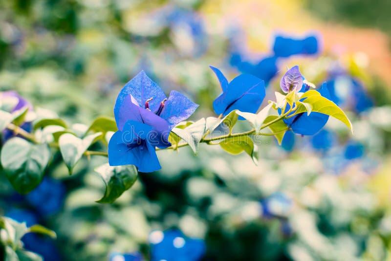 Flores azules de la buganvilla en una rama fotografía de archivo libre de regalías