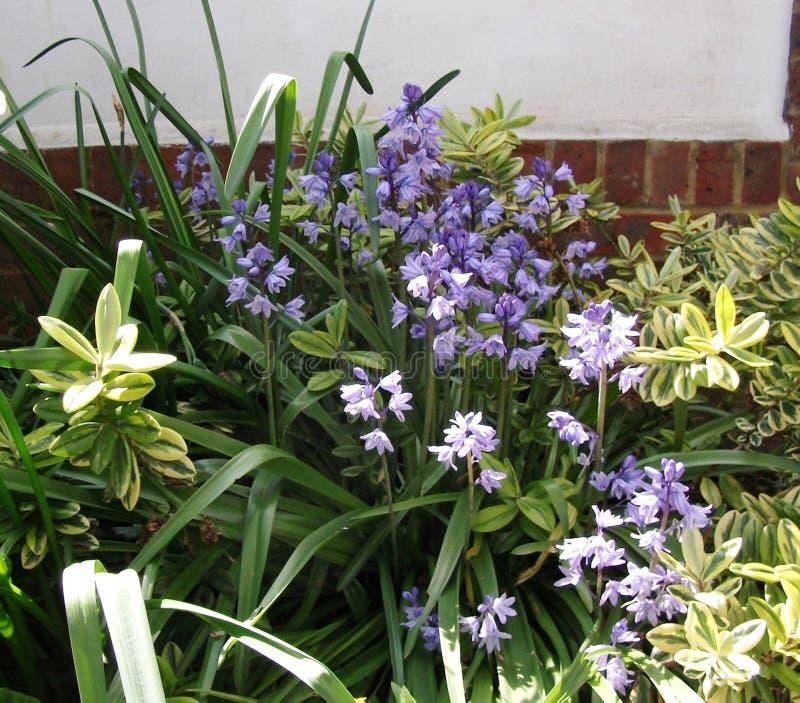 Flores azules de la campanilla a lo largo de la frontera del jardín foto de archivo