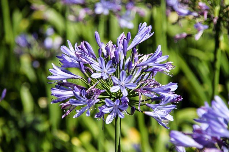 Flores azules del camassia foto de archivo