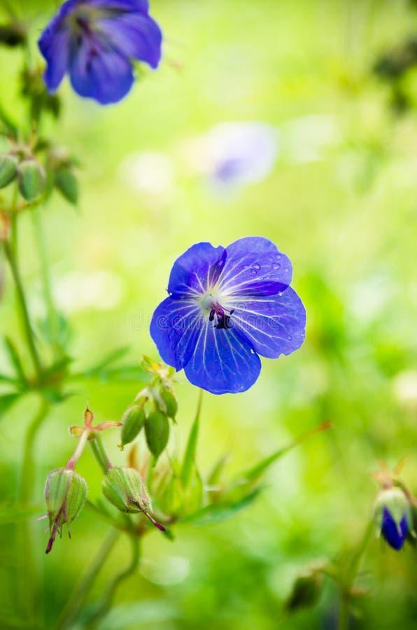 Flores azules del campo, primer imagen de archivo libre de regalías