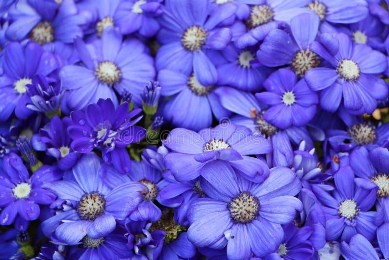 Flores azules del cineraria fotografía de archivo