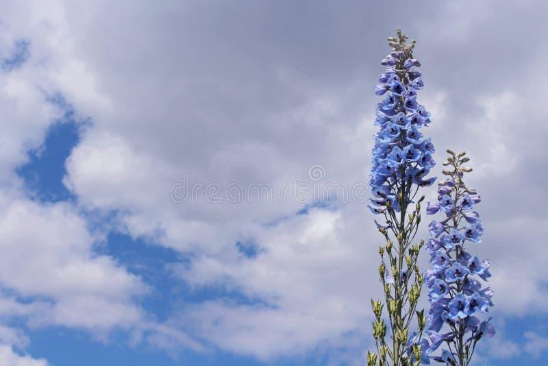 Flores azules del delfinio con el fondo del cielo azul imagen de archivo