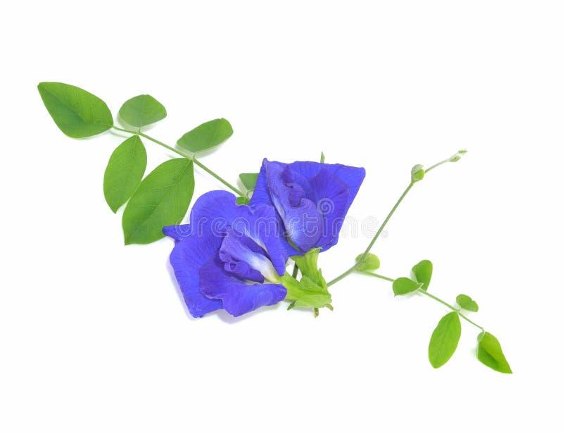 Flores azules del guisante de olor aisladas en el fondo blanco fotos de archivo