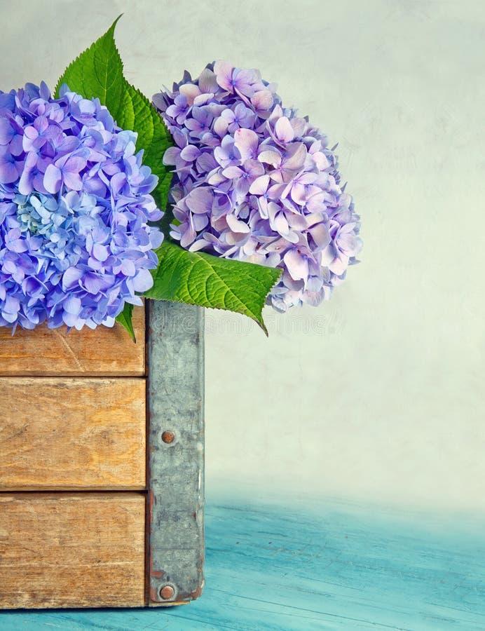 Flores azules del hydrangea en un rectángulo de madera imagen de archivo libre de regalías