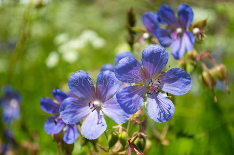 Flores azules del prado fotos de archivo