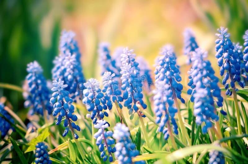 Flores azules del verano hermoso que crecen al aire libre imagen de archivo libre de regalías
