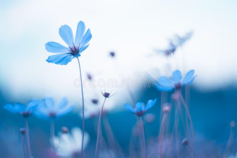 Flores azules delicadas Cosmos azul con el tono hermoso Imagen artística de flores imagen de archivo libre de regalías