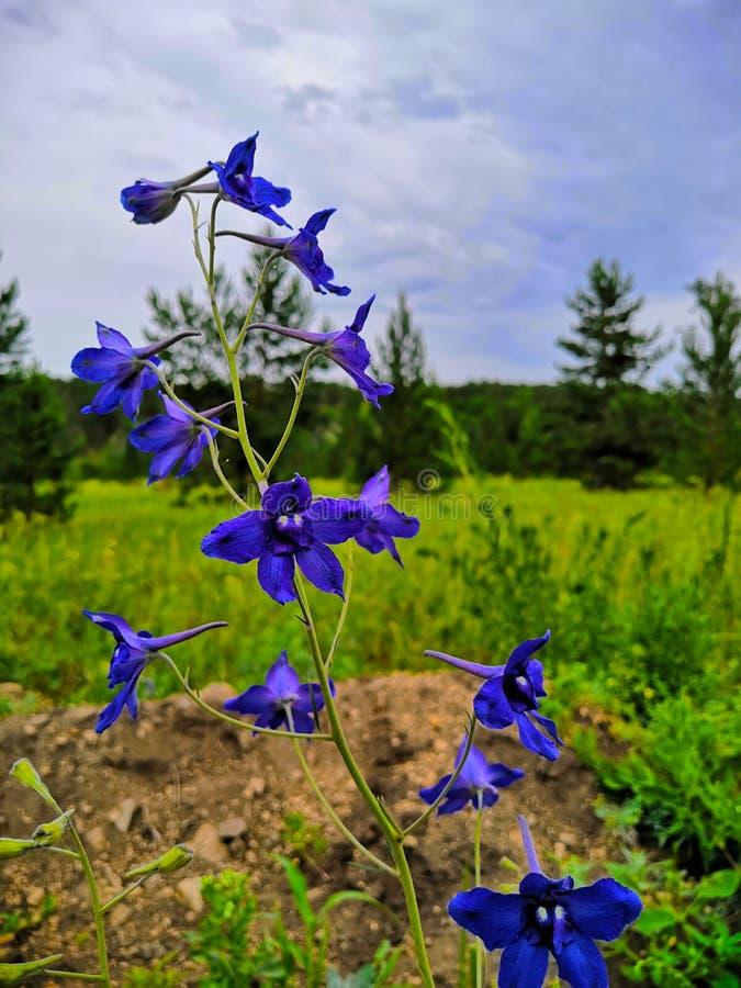 Flores azules en el campo El azul de la espuela de caballero Lat de la espuela de caballero, o del delfinio, o de la espuela de c imágenes de archivo libres de regalías