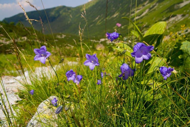 Flores azules en las montañas foto de archivo