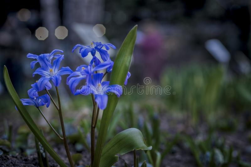 Flores azules frescas jovenes, foco suave, oscuridad, iluminación de la ciudad de la noche Primavera romántica soñadora, prime fotografía de archivo libre de regalías