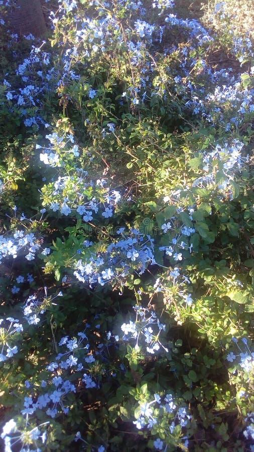 Flores azules hermosas foto de archivo libre de regalías