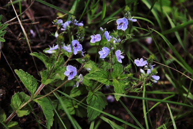 Flores azules hermosas en el prado fotos de archivo