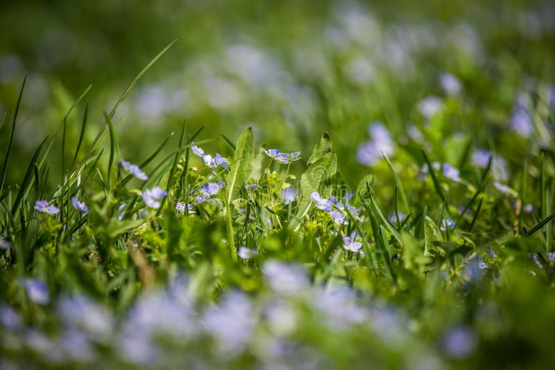 Flores azules hermosas, pequeñas que florecen en la hierba en primavera imagen de archivo libre de regalías