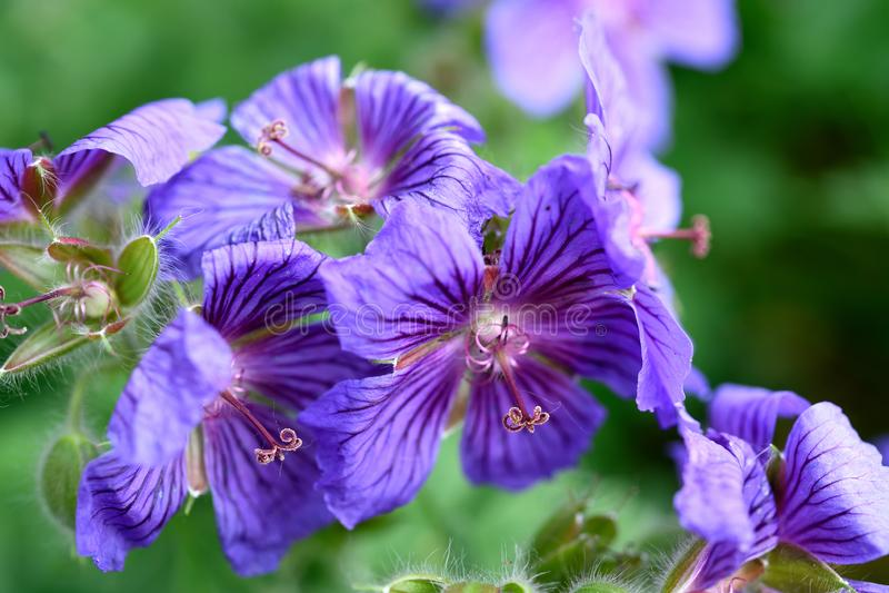 Flores azules p?rpuras magn?ficas que florecen fuera de los brotes melenudos imagen de archivo