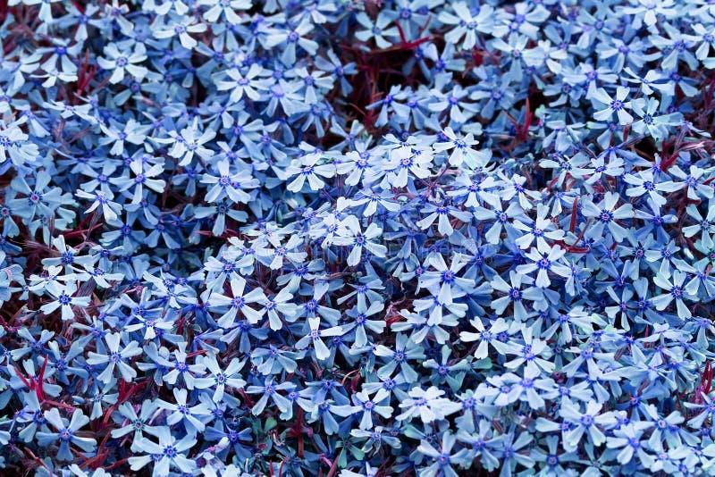 Download Flores Azules Para La Decoración Imagen de archivo - Imagen de aromático, fresco: 7151497