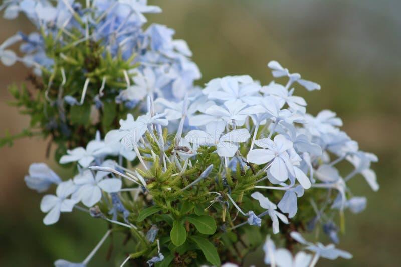 Flores azules que florecen, auriculata del grafito imágenes de archivo libres de regalías