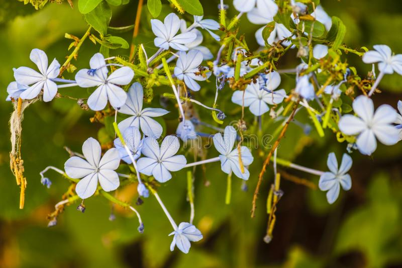 Flores azules salvajes foto de archivo libre de regalías