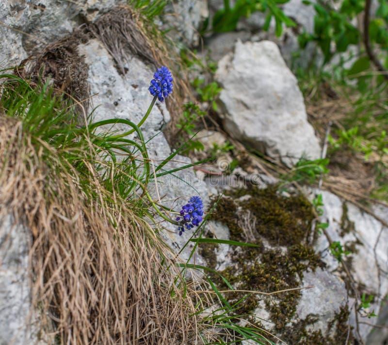 Flores azules salvajes en la ladera foto de archivo