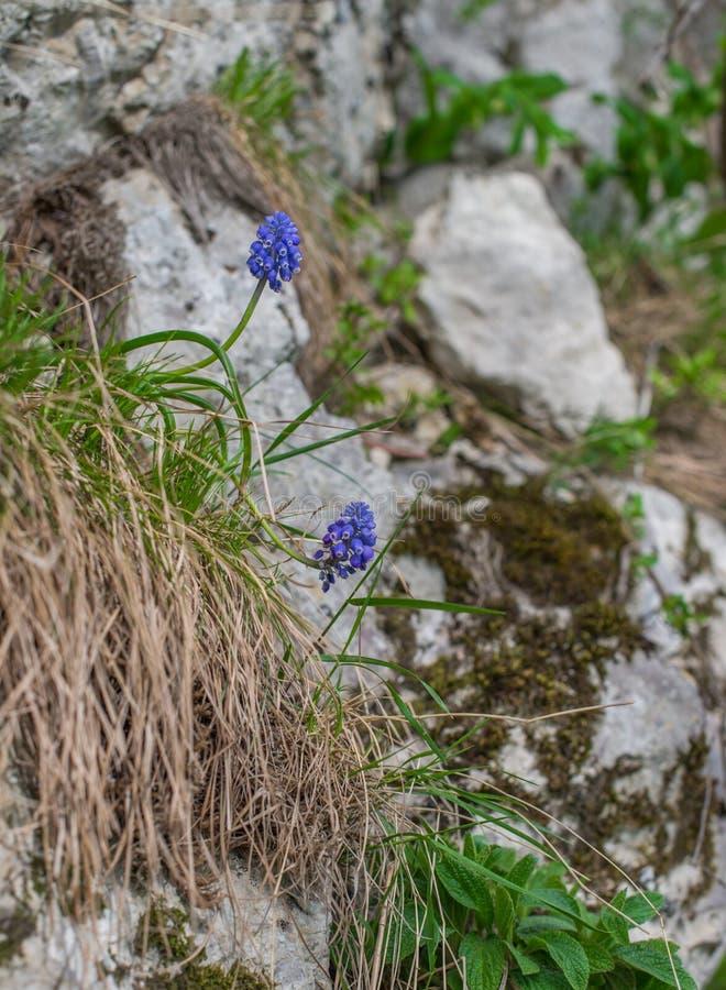 Flores azules salvajes en la ladera imagen de archivo