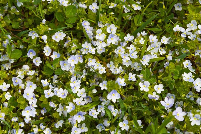 Flores azules y blancas en follaje verde imagen de archivo libre de regalías