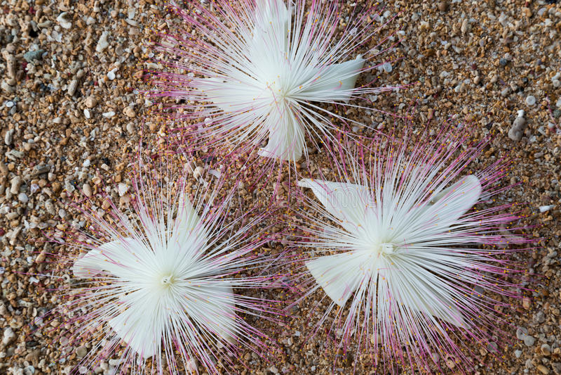 Flores Barringtonia asiatica en la arena fotografía de archivo libre de regalías