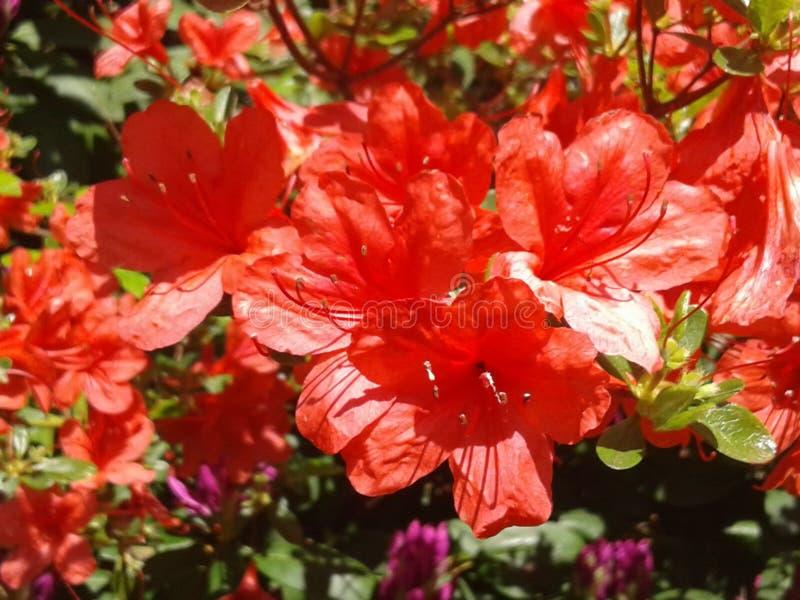 Flores bellamente rojas completamente florecientes imagen de archivo