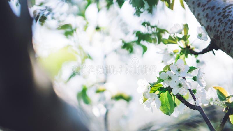 Flores blancas Árboles florecientes hermosos con las flores florecientes fotografía de archivo libre de regalías