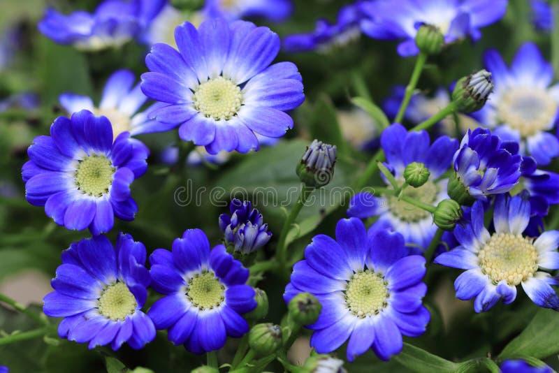Flores blancas azules de Senetti del Pericallis foto de archivo libre de regalías