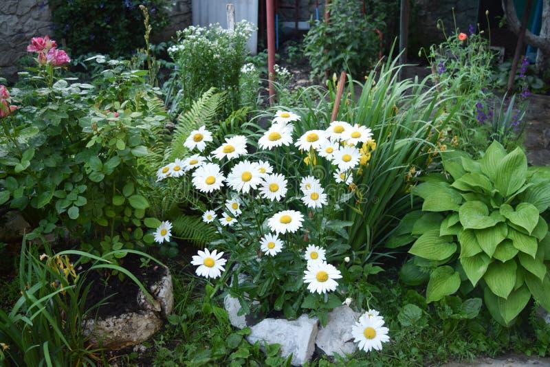 Flores blancas de jardín de la manzanilla foto de archivo