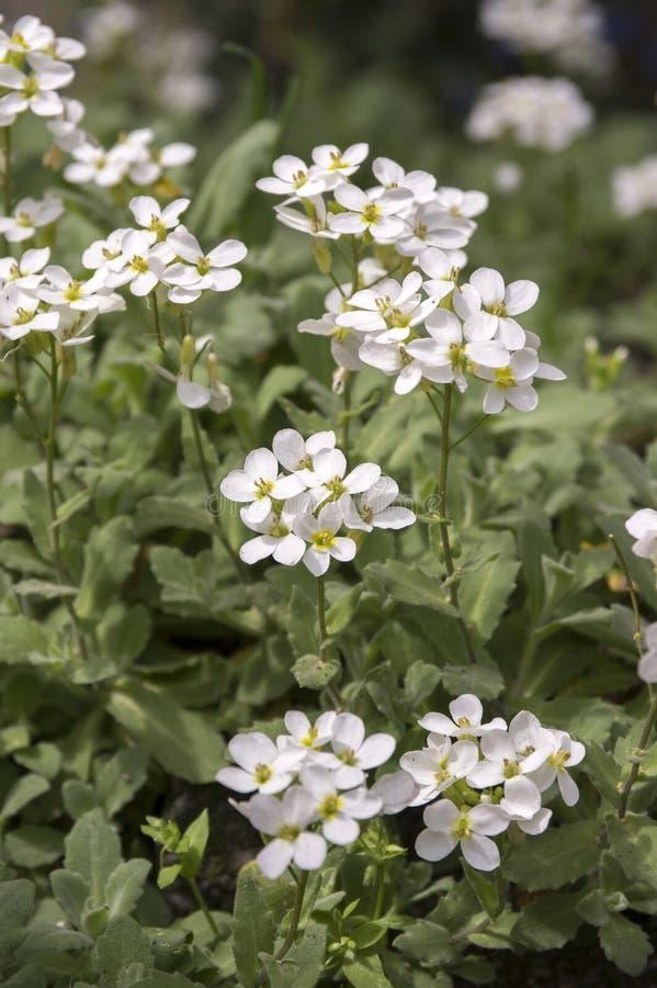 Flores blancas de jardín ornamental del caucasica del Arabis, berro de roca de la montaña en la floración fotografía de archivo