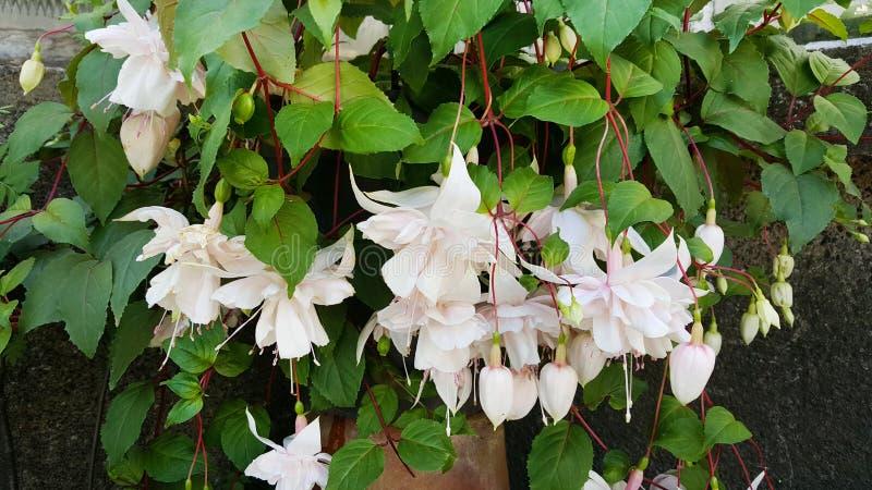 Flores blancas de la begonia en Sofia Botanical Garden fotografía de archivo libre de regalías