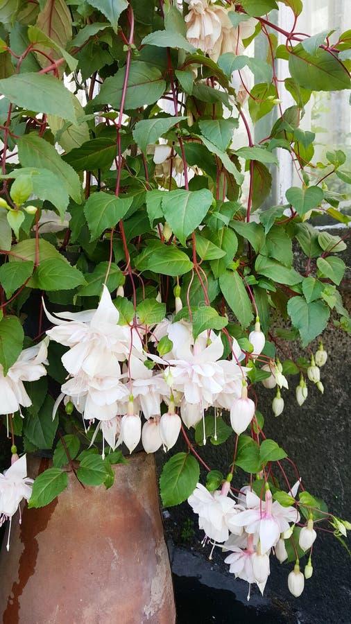 Flores blancas de la begonia en Sofia Botanical Garden foto de archivo
