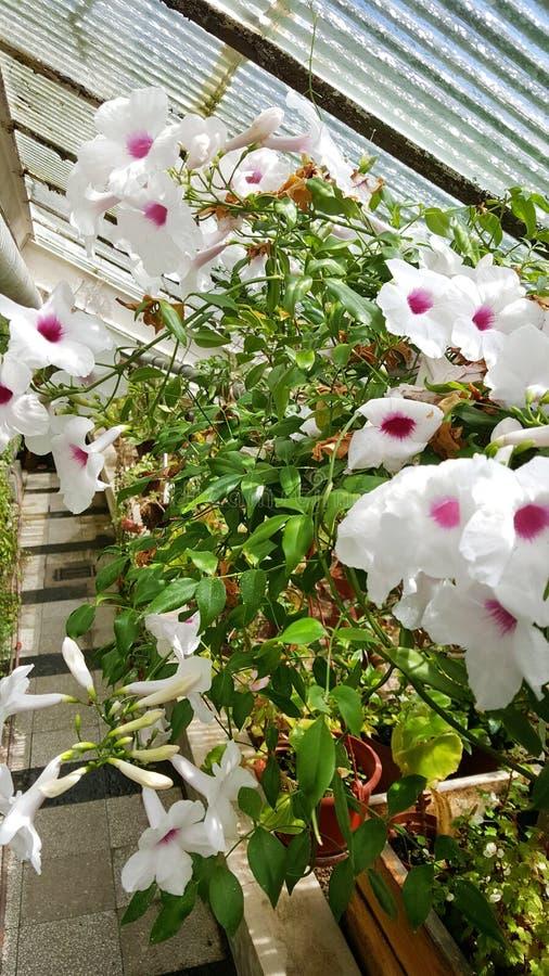 Flores blancas de la begonia en Sofia Botanical Garden foto de archivo libre de regalías