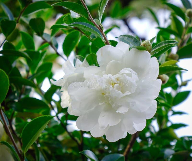 Flores blancas de la camelia que florecen en el jardín imagenes de archivo
