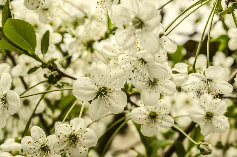Flores blancas de la cereza en pedúnculos largos imagenes de archivo
