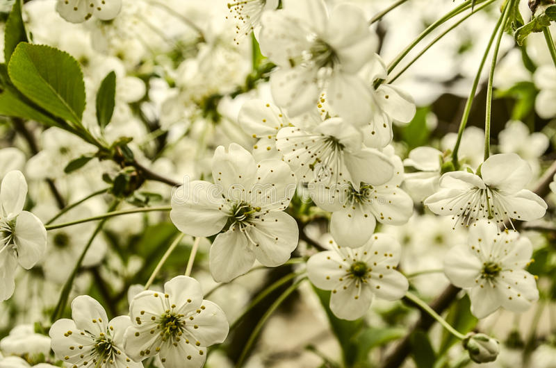 Flores blancas de la cereza en pedúnculos largos imágenes de archivo libres de regalías