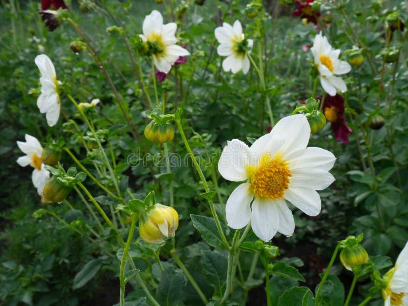 Flores blancas de la dalia en primer de la plena floración del jardín Tarjeta del día de fiesta imágenes de archivo libres de regalías