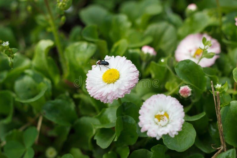 Flores blancas de la floración del narciso en primavera en la hierba imagen de archivo libre de regalías