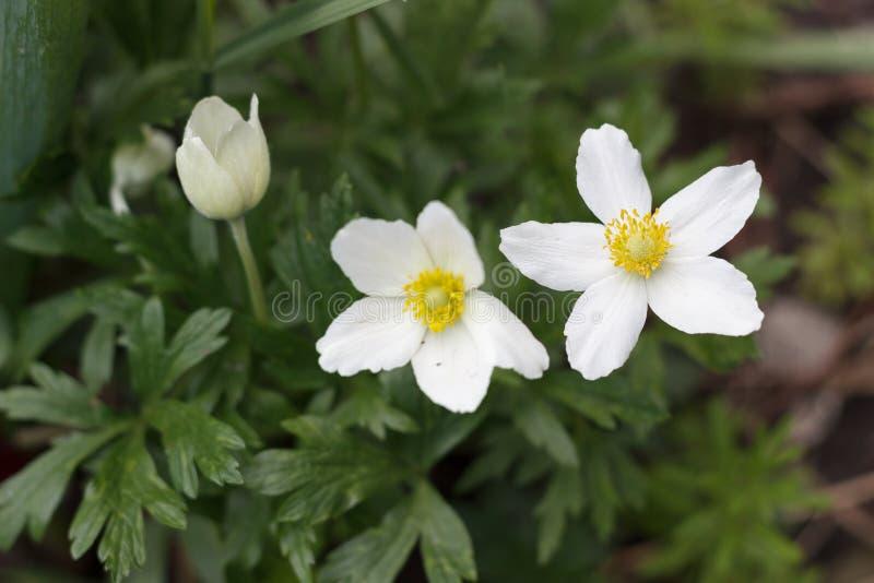 Flores blancas de la floración del narciso en primavera en la hierba foto de archivo libre de regalías