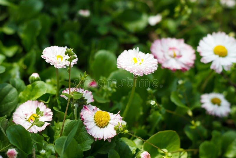 Flores blancas de la floración del narciso en primavera en la hierba imagenes de archivo