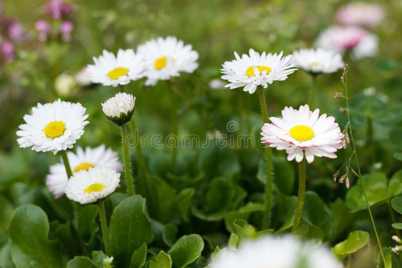 Flores blancas de la floración del narciso en primavera en la hierba imágenes de archivo libres de regalías