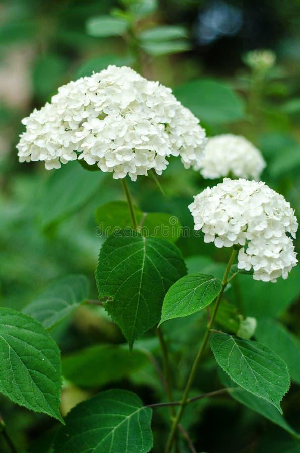 Flores blancas de la hortensia fotografía de archivo libre de regalías
