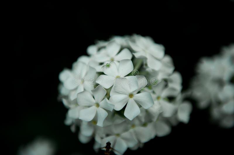 Flores blancas de la hortensia en negro imagen de archivo