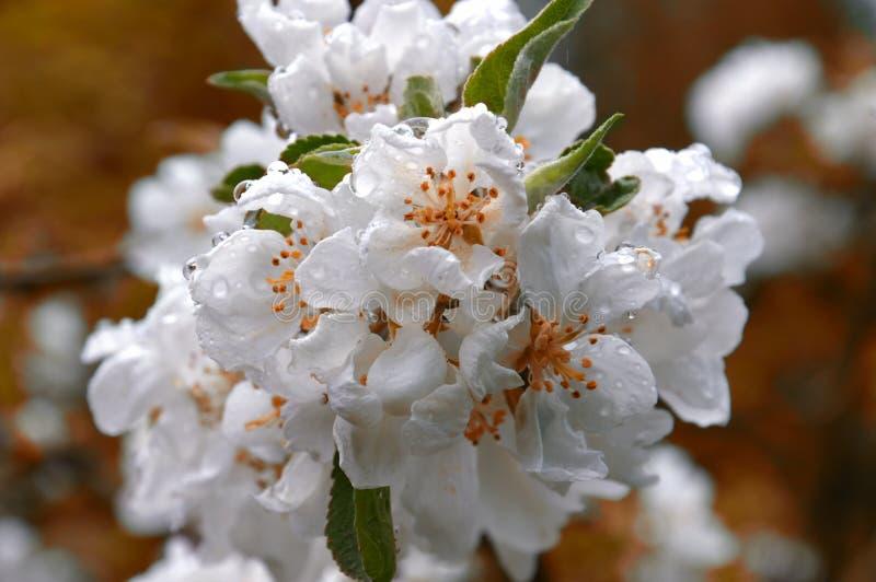 Flores blancas de la manzana Rama de un manzano floreciente después de la lluvia en un fondo anaranjado Gotas de la lluvia grande fotografía de archivo libre de regalías