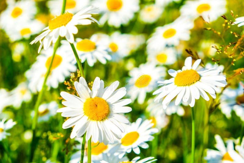 Flores blancas de la manzanilla de Natual en el bosque imagenes de archivo