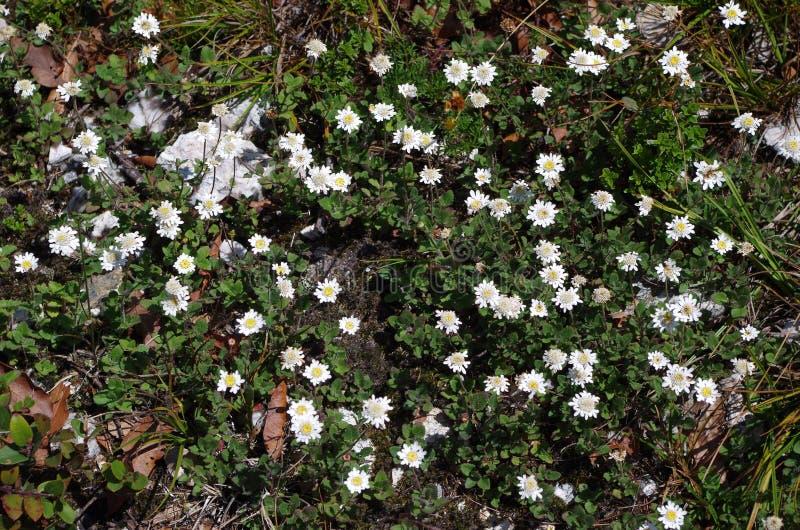 Flores blancas de la montaña en Oaxaca fotografía de archivo