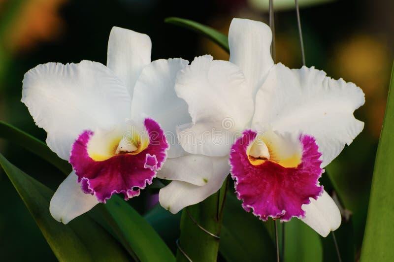 Flores blancas de la orquídea - Cattleya imagen de archivo